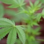Microsoft помогают выращивать марихуану