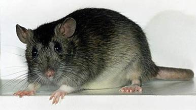Борцы за права животных обвиняют Battlefield 3 в жестоком обращении с крысами